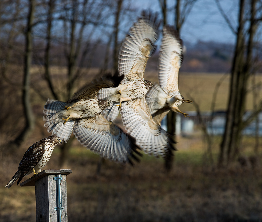 Red-Tailed Hawk in flight, Theaterwiz Photography